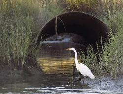Great Egret feeds, about 100 yards from my door.