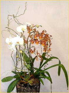 oncidium phalaenopsis with succulents - front view
